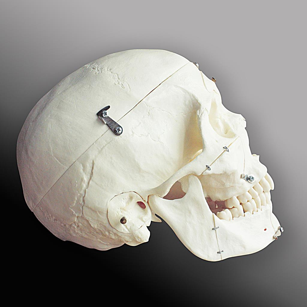 Realistic human skull model buiilt from scratch