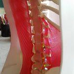 1:1 scale anatomical model of human spine and muscles