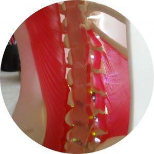 Prototype of spine in torso model